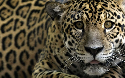Man sentenced to 6 months in prison in Ecuador for killing a jaguar