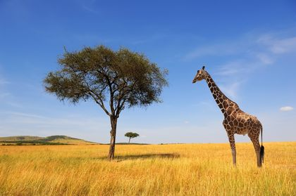 Giraffes Are Threatened with Extinction
