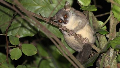 Scientists identify new primate species, which may already face extinction