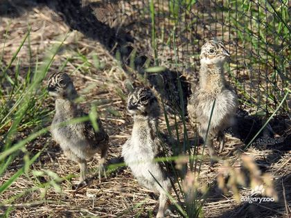 Calgary Zoo hatches 50 endangered greater sage grouse birds