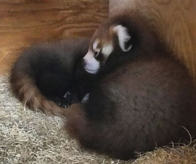 Edmonton Valley Zoo needs help naming baby red panda twins