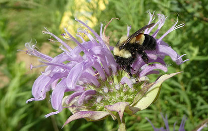 Rusty-patched bumblebee officially named an endangered species after Trump-ordered delay