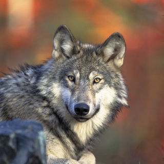 Unsettled Science Behind Proposal to Lift Gray Wolf Protections, Panel Says