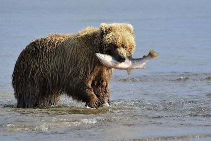 Secret Grizzly Bear Feeding Site Discovered (and Kept Hidden)