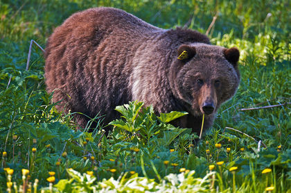 Grizzly bears in Yellowstone Park may lose endangered status