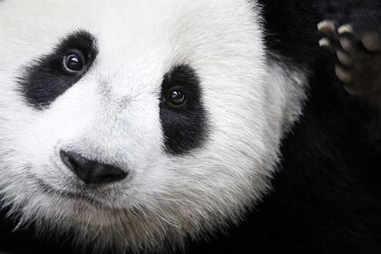 Giant Panda is no longer an endangered species