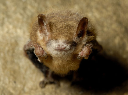 Can 'Good' Bacteria Save Bats From Killer Fungus?