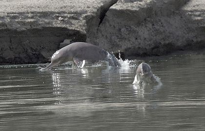 Dams Imperil Pakistan's Endangered River Dolphins