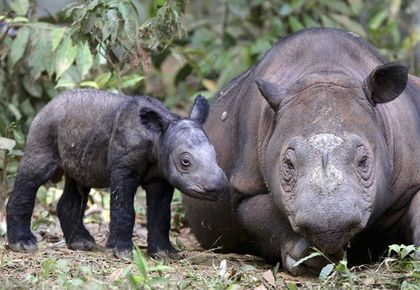 US-born endangered Sumatran rhino arrives in Indonesia on mission to mate