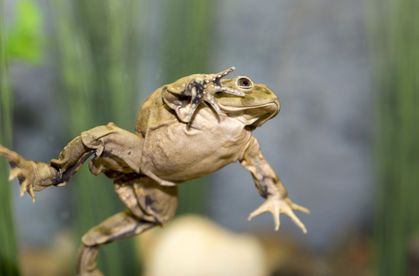 Dying Breed? Zoo Toils to Save Strange 'Scrotum Frog'