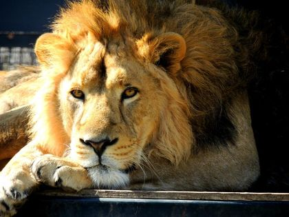 Two rare Asiatic lions at Winnipeg zoo moving to England to breed