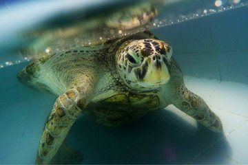 Sea Turtle 'Bank' Dies After 915 Coins Removed from Stomach