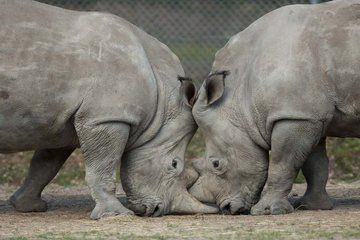 Rare White Rhino Killed for Coveted Horn at French Zoo
