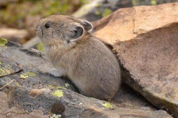 Climate Change Is Driving These Cute Mountain Critters Out of Their Homes