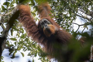 New Orangutan Species Is World's Most Endangered Great Ape