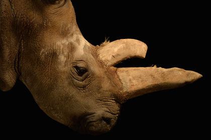 Stem Cells May Save Northern White Rhinos