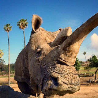 Goodbye, Nola: Only 3 Northern White Rhinos Remain in the World