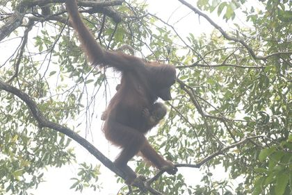Fires in Indonesia Send Orangutans Fleeing for Safety