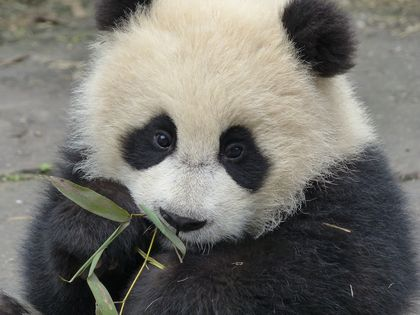 The Key to Making Baby Pandas? Love
