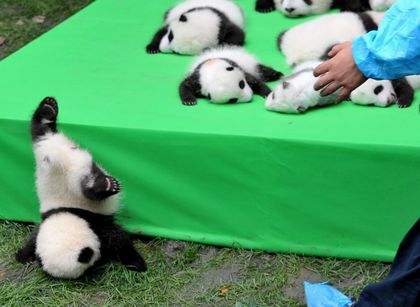 Cutest Face-Plant Ever? Baby Panda Falls Off Stage