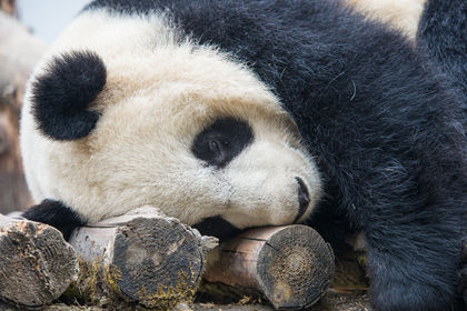 Giant Pandas and Humans: A Lesson in Sustainability
