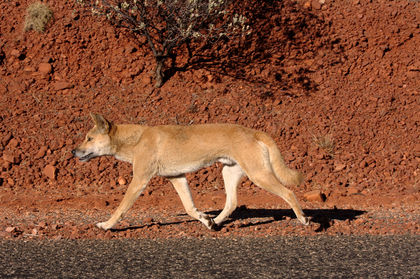 Marsupial Extinctions: Don't Blame the Dingoes (Op-Ed)