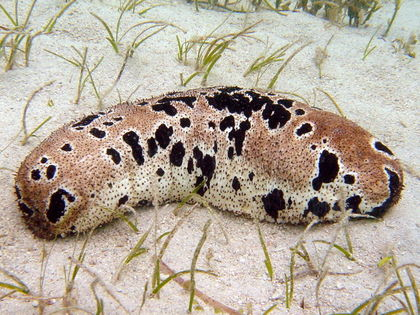 Sea Cucumbers are So Popular in Asia They Face Extinction