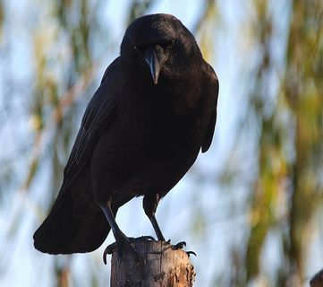 Go West, Young Raven: Clever Birds Use Power Lines to Spread to New Territory