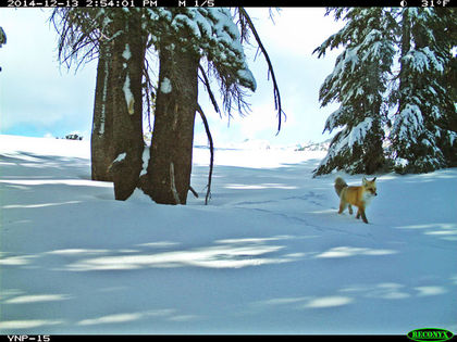 Rare Red Fox Reappears in Yosemite Park