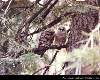 Threatened Owls Pushed Out of Home by Foes
