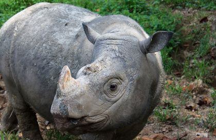 Sumatran Rhino Goes Extinct in the Wild in Malaysia