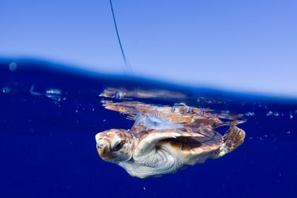 Baby Sea Turtles Go Rogue, Satellite Shows