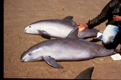Critically Endangered Porpoise Could Be Extinct in Four Years