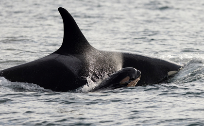 Conservationists thrilled: 6th new baby born to B.C. coast orca pods