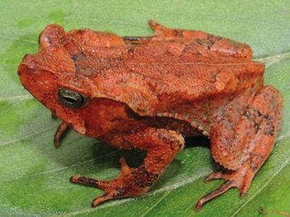 Leaf-Patterned Toad Without Ears Discovered in Peru
