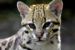 Close-up of the head of an Ocelot facing the camera.