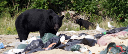A side view of two Black Bears feeding in an open-air waste dump.