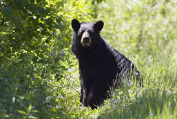 A Black Bear sitting side view in the vegetation faces the camera.
