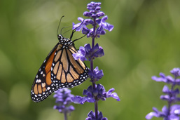 A side view of a Monarch Butterfly settled on purple grape flowers.
