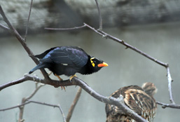 A side view of a Hill Myna sitting on a tree branch.
