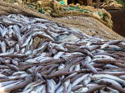 A pile of fish laying on a fishing net.