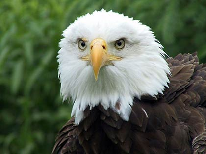 Close-up of the head of a Bald Eagle staring at the camera.