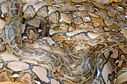 Burmese Pythons squeezed on one another.