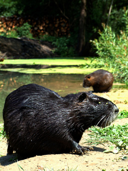 Two Nutria, side view, rest on a stream shore.