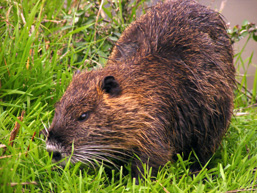 The side view of a Nutria chewing grass.