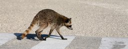 A side view of a Raccoon crossing a road.