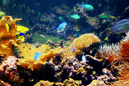 Underwater image of a coral reef with multicoloured corals and fish.