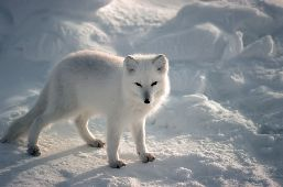 Immobile in the snow, an Arctic Fox, side view, looks at the camera.