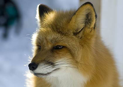 Close-up side view of the head of a Red Fox.