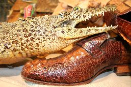 Crocodilian skin shoes and a naturalized caiman.